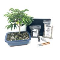 Oriental Ficus Bonsai Kit
