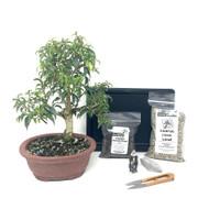 Ficus Retusa Bonsai Kit