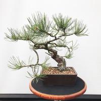 Ponderosa Pine - 40+ years old (PP101)