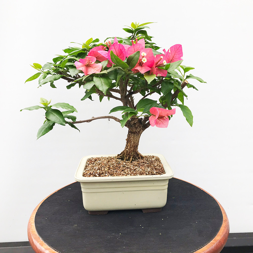 Bonsai Trees Popular Species Flowering Trees Page 1 New