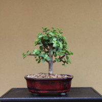 Beginners Bonsai— Mini Jade
