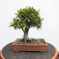 Willow Leaf Ficus In Handmade Paul Olson Pot (WEB302)