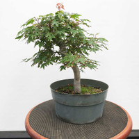 Japanese Maple In Grow Pot (WEB382)