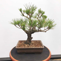 Japanese Black Pine (WEB384)
