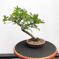 Chinese Elm (WEB385)