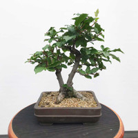 Twin Trunk Silverberry. Russian Olive (WEB389)