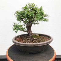 Cork Bark Chinese Elm (WEB391)