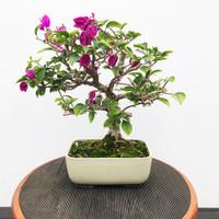 Pink Flowering Bougainvillea (WEB427)