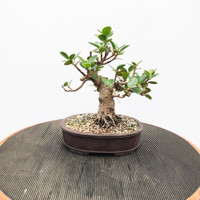 Green Island Ficus (WEB429)