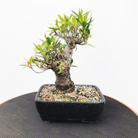 "11"" Tall Willow Leaf Ficus (WEB430)"