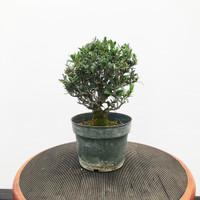 Olive Pre-Bonsai (WEB434)