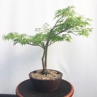 Twin Trunk Japanese Maple (WEB454)