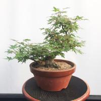 Pre-Bonsai Japanese Maple (WEB455)