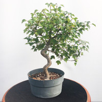 Pre-Bonsai Trident Maple (WEB456)