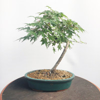 Japanese Maple (WEB460)