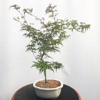 'Kamagata' Japanese Maple (WEB465)