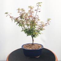 'coonara pygmy' Japanese Maple (WEB469)