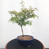 'sharp's pygmy' Japanese Maple (WEB473)
