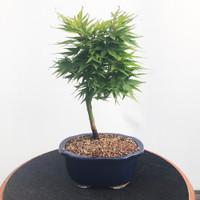 'mikawa yatsubusa' Japanese Maple (WEB476)