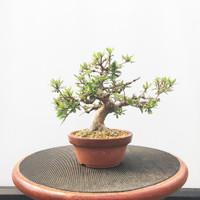 Imported Satzuki Azalea 'hinomaru' (Web490)