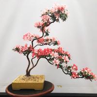 'yata-no-gami' Imported Satzuki Azalea (Web508)