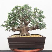 Imported Satzuki Azalea 'daikinboshi' (Web510)