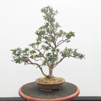 Imported Satzuki Azalea in Richard Robertson pot  (Web512)