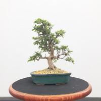 Imported Satzuki Azalea 'hinomaru' (Web515)