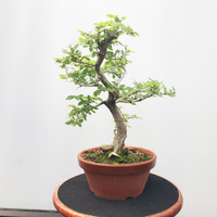 Korean Hornbeam In Tokoname Grow Pot (WEB527)