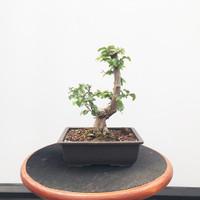 Korean Hornbeam In Grow Pot (WEB533)