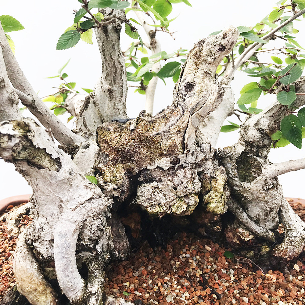 New England Bonsai Gardens Excellence In Since 1987 Wiring Lesson Quick View