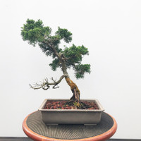Pre-Bonsai Shimpaku Juniper - FREE Shipping (WEB536)