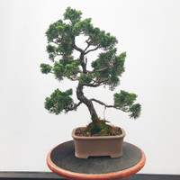 Pre-Bonsai Shimpaku Juniper - FREE Shipping (WEB537)