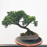 Pre-Bonsai Shimpaku Juniper - FREE Shipping (WEB539)