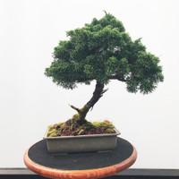 Pre-Bonsai Shimpaku Juniper - FREE Shipping (WEB542)