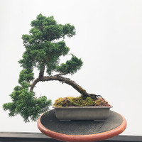 Pre-Bonsai Shimpaku Juniper - FREE Shipping (WEB543)
