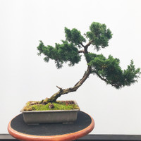 Pre-Bonsai Shimpaku Juniper - FREE Shipping (WEB545)