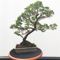 Pre-Bonsai Shimpaku Juniper - FREE Shipping (WEB546)