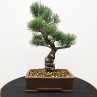 Imported Japanese White Pine (JWP2018005)