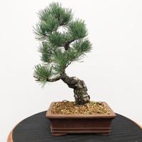 Imported Japanese White Pine (JWP2018006)