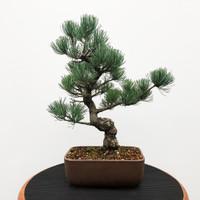 Imported Japanese White Pine (JWP2018007)