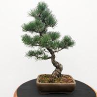 Imported Japanese White Pine (JWP2018009)