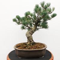 Imported Japanese White Pine (JWP2018010)
