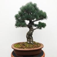 Imported Japanese White Pine (JWP2018011)