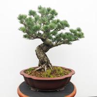 Imported Japanese White Pine (JWP2018012)