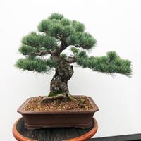 Imported Japanese White Pine (JWP2016013)