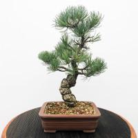 Imported Japanese White Pine (JWP2018014)