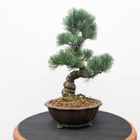 Imported Japanese White Pine (JWP2018016)