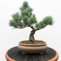 Imported Japanese White Pine (JWP2018017)
