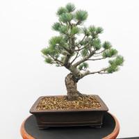 Imported Japanese White Pine (JWP2018019)